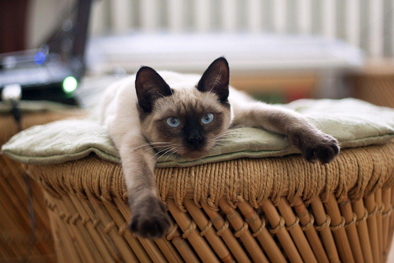 Siyam cinsi kedi