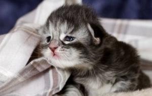 Bulaşıcı Kedi Nezlesi