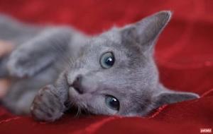 Mavi Rus  kedisi